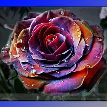 Rare 'Fire Phoenix' Rose Tree Flower Seeds, Professional Pack, 50 Seeds / Pack, Great Bonsai Flower #NF871(China (Mainland))