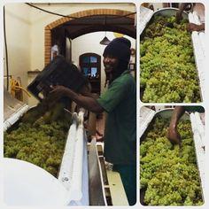 Started pressing the harvest yesterday. Smells delicious, tastes like heaven. Wine Making, Wine Cellar, Harvest, Heaven, Instagram Posts, Riddling Rack, Sky, Heavens, Paradise