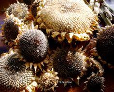Arikara #sunflower seed heads.