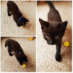 #Buttons playing with his #yellow #button Definitely suits his name! As is is #internationalcatday I had to share another photo of my…