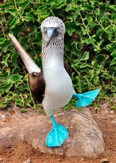 Isole Galapagos - Ecuador by Eden Viaggi, via Flickr...I'm guessing blue-footed booby?