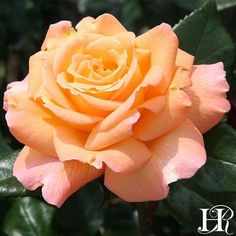Captivating Why Rose Gardening Is So Addictive Ideas. Stupefying Why Rose Gardening Is So Addictive Ideas. Beautiful Rose Flowers, Pretty Roses, Heirloom Roses, Planting Roses, Flowers Garden, Types Of Roses, Rose Trees, Special Flowers, Hybrid Tea Roses