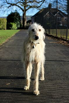 Light Haired Long Haired Lurcher, Brody from lurchhoundloves.com #dogs #pets #lurcher #cute Bedlington Whippet, Lurcher, Whippets, Scottish Deerhound, Irish Wolfhounds, Hounds Of Love, All Types Of Dogs, Irish Terrier, Hound Dog