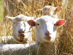 A Sheeps Life | Flickr - Photo Sharing!