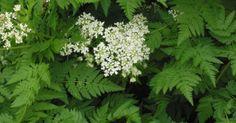 Anthriscus cerefolium subsp. trichospermum / Apiaceae / Th / ikerkaszat