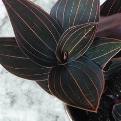 Jewel Orchid - New Ideas Potted Plants Patio, Garden Plants, Indoor Plants, Phalaenopsis Orchid Care, Jewel Orchid, Chlorophytum, Orchid Centerpieces, Garden Insects, Growing Plants
