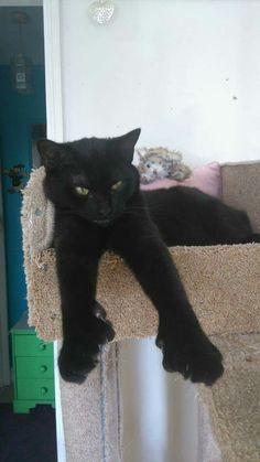 Black Polydactyl Cat