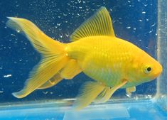 watonai from rain garden goldfish —would love Saki-Hikari Fancy Goldfish www.hikariusa.com