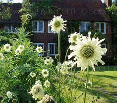 Cephalaria gigantea 'Giant Scabious'. Can reach 6 ft + with airy flowers.