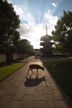 One of over one thousand Sika deer near the Tōdai-ji Buddhist shrine in Nara Park. #japan #nara