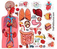 Anatomy Of The Human Body - Organs Human Body Anatomy, Human Anatomy And Physiology, Anatomy Organs, Circulatory System, Respiratory System, Skeletal System, Endocrine System, Lymphatic System, Human Body Organs