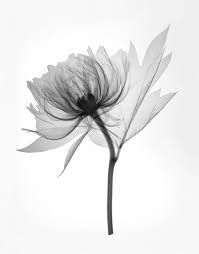 Image result for peony xray