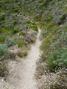 A trail through coastal sage scrub. Plants include Lupinus chamisonis, Coyote Bush, Cliff Buckwheat, Deerweed, Sticky Monkey flower, and Giant Rye. - grid24_12