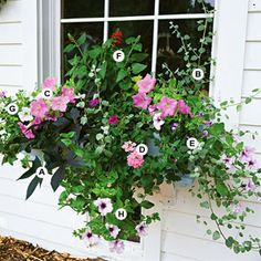 Full sun window box or container garden. A. Sweet potato vine (Ipomoea batatas 'Blackie') -- 1 B. Licorice plant (Helichrysum petiolare) -- 1 C. Petunia 'Carpet Lilac' -- 2 D. Verbena 'Aztec Pink Magic' -- 1 E. Wishbone flower (Torenia 'Summer Wave Blue') -- 1 F. Salvia 'Lady in Red' -- 1 G. Petunia 'Ramblin White' -- 1 H. Petunia 'Pink Daddy' -- 1