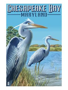 Chesapeake Bay, Maryland - Blue Heron Art Print at AllPosters.com