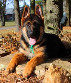 Mittelwest World class German Shepherd Dog imports, breeder, puppies for sale, german shepherds for sale, stud services.