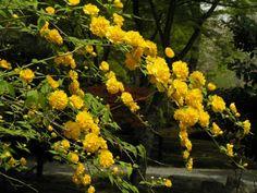 Керрия — одна из рода. Удивительно, почему керрия редка в наших садах. Она довольно симпатична благодаря изысканной графичности побегов и листьев и пронзительной «цыплячьей» желтизне цветков. Богато цветет около месяца, начиная с последних дней мая, а в конце лета зацветает повторно, правда на этот раз необильно. И несмотря на свое довольно южное происхождение, вполне вынослива в средней полосе, хотя концы побегов зимой часто подмерзают.