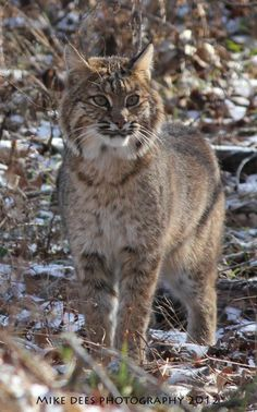 BOB CAT IN CADES COVE IN THE GREAT SMOKY MOUNTAINS, TENNESSEE