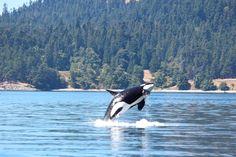 Breaaaaaachhhhhhhhaaaa! July 31, 2014: Great day with Group A of J Pod! Ocean EcoVentures Whale Watching - Cowichan Bay