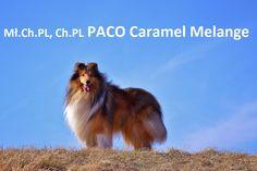 paco caramel melange collie rough owczarek szkocki dlugowlosy