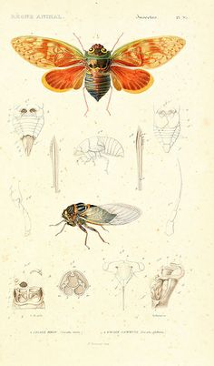 Cicada stryx and Cicada plebeja  #entomology #naturalist
