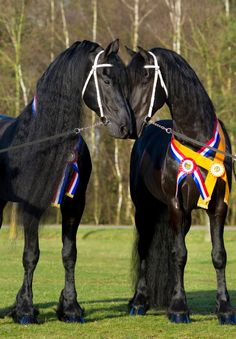 National and all around Stallion Champion Norbert 444 and reserve stallion champion Beart 411 won championships at the 2012 KFPS Stallion Selection Show in Leeuwarden, Netherlands. Here they are photographed living happily together at Gebr. van Manen stud farm in the Netherlands.