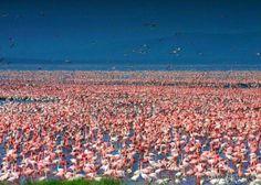 Thousands of Flamingos gather at Lake Nakuru in Kenya