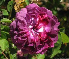 """""""Double Plum Hybrid China"""" Rose Photo"""