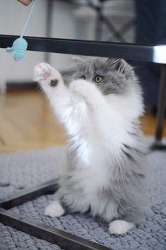 Mon parcours de maman chat. Chaton british longhair des British du clos d'Eugénie, gris bicolore bleu et blanc (élevage de british shorthair et longhair). Mannequin : Lynn et Photo : Vanessa Pouzet | Beautiful cat blue and white | British longhair kitten