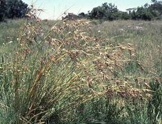 Attractive growth form Grass Type, Grasses, Herbs, Flowers, Plants, Lawn, Grass, Herb, Plant
