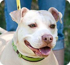 Holmes Beach, FL - American Pit Bull Terrier Mix. Meet Juno, a dog for adoption. http://www.adoptapet.com/pet/9323142-holmes-beach-florida-american-pit-bull-terrier-mix