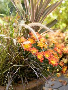 All About Mums - Caring for them and planting