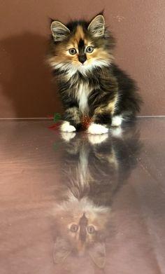 Bobita Blaze #cute  #kurilianbobtail #kittens Bobtail Cat, Cattery, Kittens, Cats, Animals, Cute Kittens, Gatos, Animales, Animaux