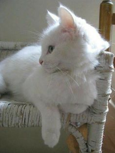 White cat, old white chair.
