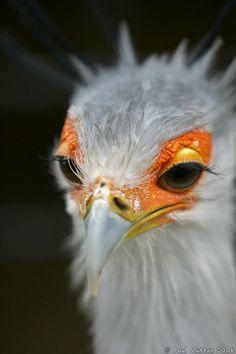 Secretary Bird Headshot