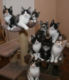 SaraJen Maine Coon Cats - Available Kittens. What fun to have a house full of these beauties!
