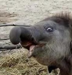 This is my funny face. Adopt An Elephant, Funny Elephant, Asian Elephant, Elephant Love, Large Animals, Animals And Pets, Baby Animals, Funny Animals, Cute Animals