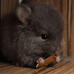 Un chinchilla gris bébé