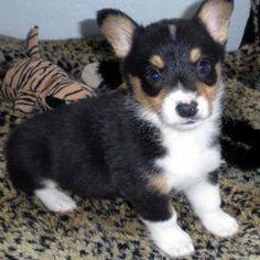 Corgi Husky Mix For Sale | Pembroke Welsh Corgi Puppies For Sale | ThePetSpot.co.uk - UK free ...
