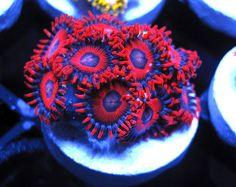 Deepwater Hornet Zoas  http://FragJunky.com  http://Facebook.com/FragJunkyCorals