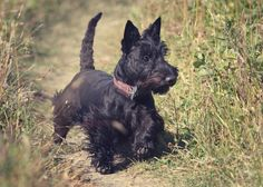 Scottish Terrier. I love this breed.