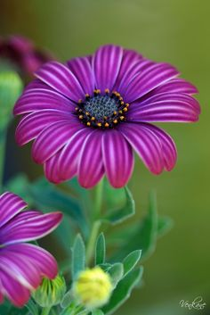 Pretty Purple Daisies Colorful Roses, Exotic Flowers, Amazing Flowers, Purple Flowers, Beautiful Flowers, Daisy Flowers, Daisies, Wedding Flowers, Photo Deco