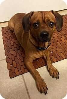Puggle Dog For Adoption In Tampa Fl Adn 739132 On Puppyfinder
