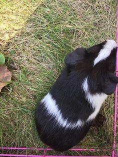 2 month old piggie
