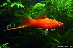 peixe espada macho ?? - Google Search