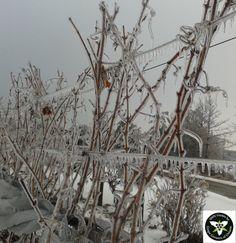 Winter Splendour!  Vineyard near St Catharines, Ontario after ice storm on Dec 22, 2013 Niagara wine