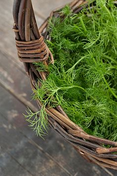 young tender fennel leaves harvested in the spring...