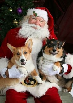 Who's Happier? Santa Or These Cute Corgis?   Smiling Corgis And The Happiest Santa In The World