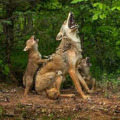 First howling lesson for coyote pups (Source: http://ift.tt/2D7oC2n)