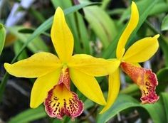 Blc. Haiku Dawn 'Sunshine and Raspberries' Hybrid Orchid Plant [CAT043] http://www.larrysorchidsstore.com/servlet/the-1147/Blc.-Haiku-Dawn-%27Sunshine/Detail